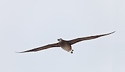 Black Footed Albatross in flight, Midway Atoll.