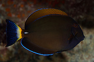 Acanthurus dussumieri (Eye-stripe surgeonfish)