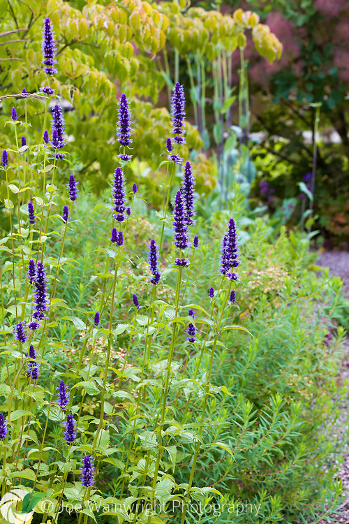 An agastache in the Walled Garden at Cogshall Grange, Cheshire, which was designed by Tom Stuart-Smith