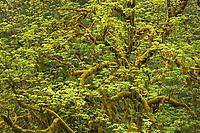 Big Leaf Maple (Acer macrophyllum)  Mount Baker Snoqualmie National Forest, North Cascades Washington