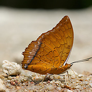 Charaxes distanti distanti, The Malay Rajah butterfly.