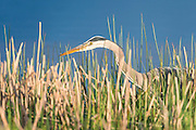 A great blue heron (Ardea herodias) hunts in the reeds, Western Montana
