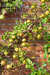 Apple 'Pixie' fan trained on a brick wall in the kitchen garden at West Dean, Sussex. Malus domestica