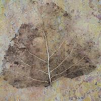 Skeleton of leaf of Black poplar or Populus nigra tree without stalk lying on patterned pink and orange rough slate