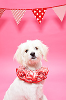 white mixed breed dog wearing a red and white clown collar against pink seamless<br /> Photographed at the Photoville Photo Booth September 20, 2015