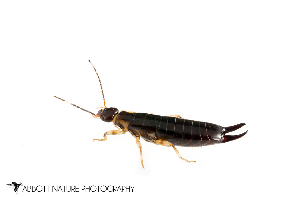 Ring-legged Earwig (Euborellia annulipes)<br /> TEXAS: Edwards Co.<br /> Bruce Moring Ecolab off C.R. 24; Camp Wood, 6 km NW<br /> 30-Nov-2013  29.74391 -100.09612<br /> J.C. Abbott &amp; K.K. Abbott