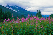 Fireweed. Near Mt. Robson Provincial Park<br /> Near Mt. Robson Provincial Park<br />British Columbia<br />Canada