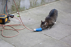 © licensed to London News Pictures. London, UK 25/07/2012. Freya, George Osborne's cat playing with a power cable at the press pen in Downing Street. Photo credit: Tolga Akmen/LNP