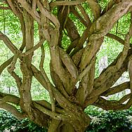 Wisteria Tree, Garden of Arne and Milly Glimche, Georgica Close Rd, East Hampton, NY, Parrish Art Museum Landscape Pleasure 2017 garden tour