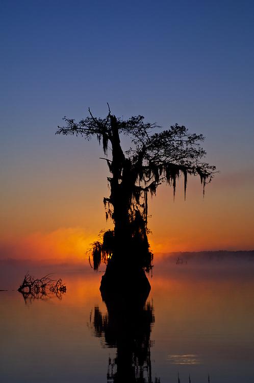 Foggy Morning Cypress