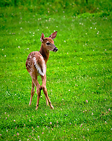 Fawn looking back. Image taken with a Fuji X-T3 camera and 200 mm f/2 OIS lens with 1.4x teleconverter