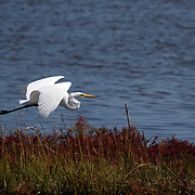 A Great Egret, Ardea alba, flying over saltmarsh. Edwin B. Forsythe National Wildlife Refuge just north of Atlantic City, New Jersey, USA, North America.