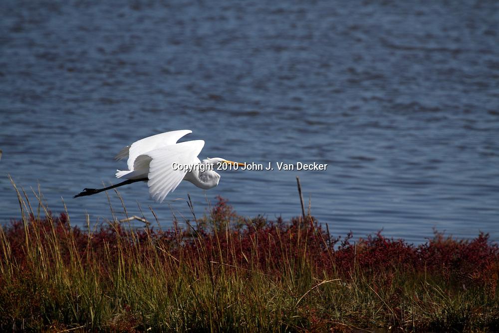 A Great Egret, Ardea alba, flying over saltmarsh. Edwin B. Forsythe National Wildlife Refuge just north of Atlantic City, New Jersey, USA, North America.