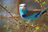 abyssinian roller, Coracias abyssinicus, Rollier d'Abyssinie