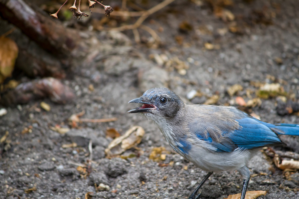 Old crazy Scrubjay