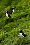 Atlantic Puffins stand in the grassy cliffs of Ingolfshofdi Nature Reserve