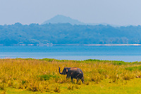 Elephant, North Central Province, Sri Lanka.