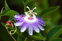 A large and stunning purple passionflower in full bloom in Paynes Creek Preserve in Bowling Green, Florida. Truly Florida's most beautiful and intricate flowering vine!