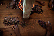Workers are selecting and bagging coffee beans picked in the Nova Moca plantation of Claudio Corallo, on the island of Sao Tome, Sao Tome and Principe, (STP) a former Portuguese colony in the Gulf of Guinea, West Africa.