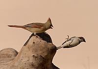Northern Cardinal, Cardinalis cardinalis<br /> House Sparrow, Passer domesticus<br /> Photographer: Wade Grassedonio<br /> Ranch: Texas Photo Ranch - River Revocable Surface, LLC - River Testamentary Surface, LLC<br /> Refugio County