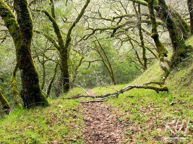 Trail Through Oak Tree Forest, Fairfax, California