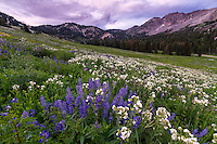 Lupine wildflowers dot the hills in Utah's Albion Basin on a cool Summer sunset.