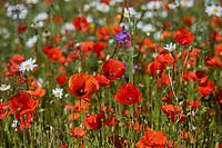 BRIELLE -  hole 13 met wilde bloemen,, Kleiburg , golfbaan.  COPYRIGHT KOEN SUYK