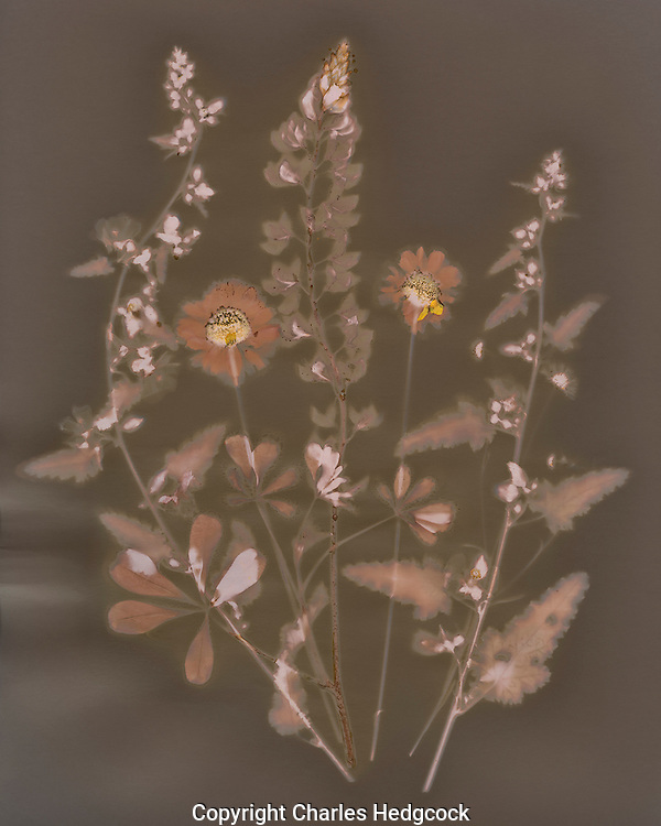 Lumen Print of native spring wildflowers from a Tucson yard.