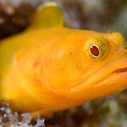 Female Neoclinus monogrammus blenny. This species was first described in 2010, with samples from waters of Japan.
