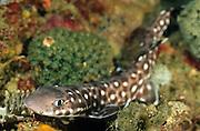 Marbled cat shark (Atelomycterus macleayi) Sulawesi, Indonesia