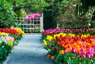 A dreamy tulip garden in Spring.