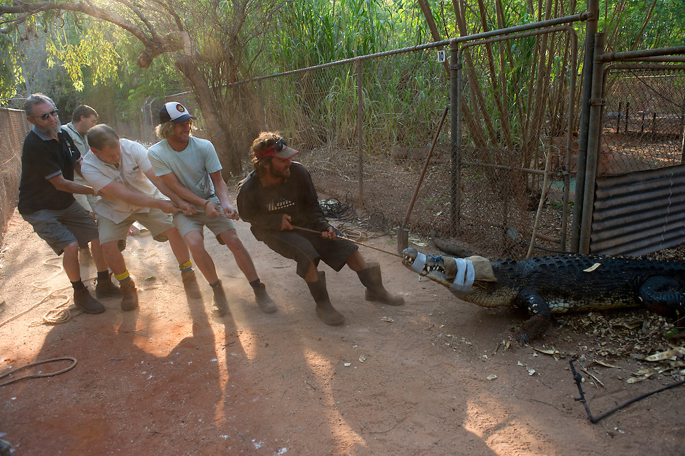 Relocating a croc at the Broome Crocodile Park, Broome, the Kimberley, Western Australia - Photograph by David Dare Parker °SOUTH
