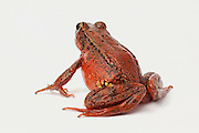 A female red-legged frog (Rana aurora) portrait. Western Oregon. © Michael Durham / www.DurmPhoto.com