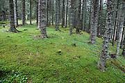 Spruce (picea abies) forest and green moss. Granskog i Selbu, Sør-Trøndelag.