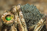 Highly Commended; Underwater Category; 2015 Asferico Photo Competition. A male Banded Jawfish, Opistognathus macrognathus, incubates a clutch of near term eggs underneath the Blue Heron Bridge in the Lake Worth Lagoon in Singer Island, Palm Beach County, Florida, United States.