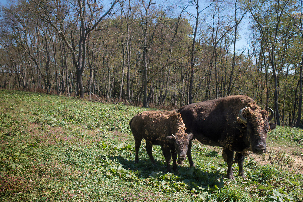 Buffalo at South Park