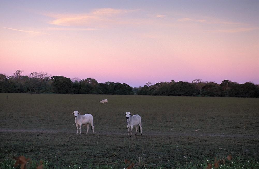 Cattle along Transpantaneira Road, Pantanal, South of Cuiaba, Mato Gross, Brazil