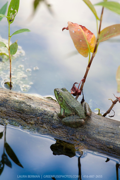 A Northern Green Frog sitting on a log in a pond.  Rana clamitans melanota also known as Lithobates clamitans melanota,