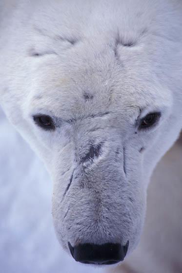 Polar Bear, (Ursus maritimus) Portrait of male with battle scars. Churchill, Manitoba. Canada.