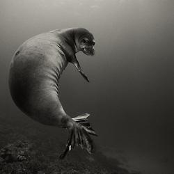 A Hawaiian Monk Seal pauses on a reef on the Kona Coast, Hawaii.