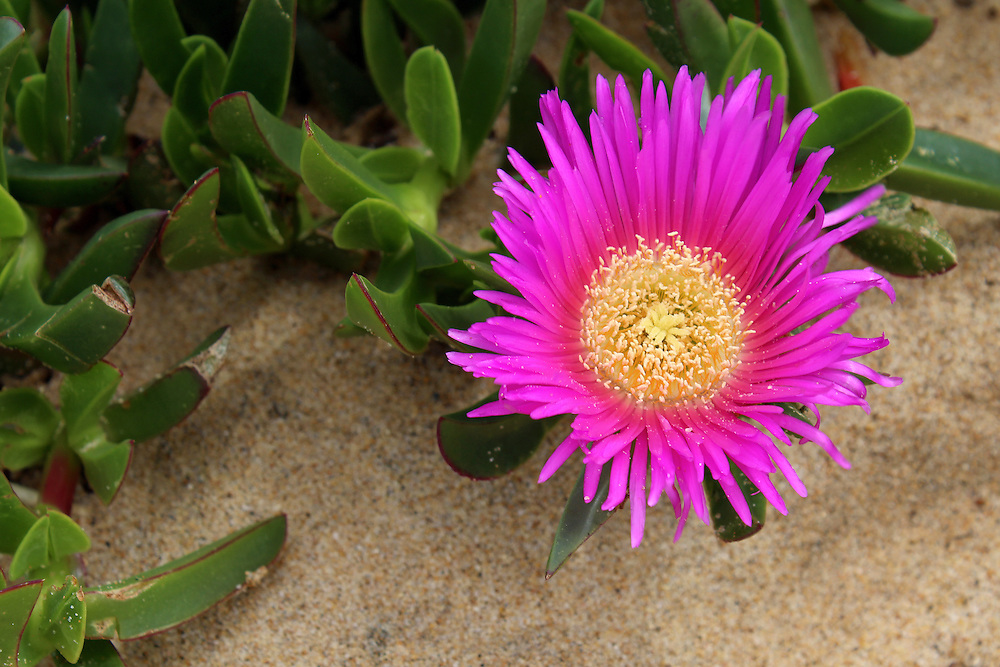 Carpobrotus edulis, a succulent plant, creeping, native to the Cape region in South Africa in regions with similar climate, such as the Mediterranean and parts of Australia and California, escaped the control human and has become an invasive species.