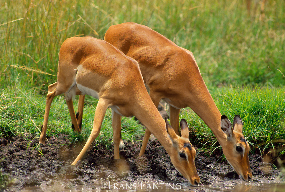 Impala does drinking, Aepyceros melampus, Masai Mara Reserve, Kenya