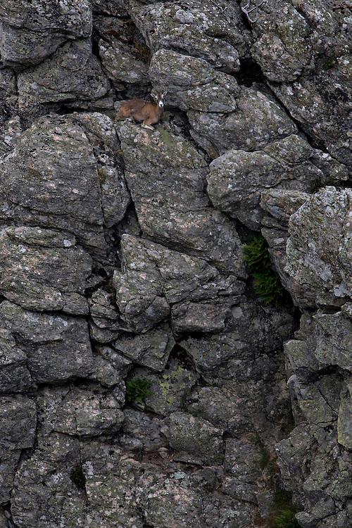 Mouflon/Ovis musimon/female resting/Parc naturel regional du Haut-Languedoc/Caroux/France