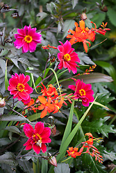 Dahlia 'Bishop of Canterbury' with orange Crocosmia