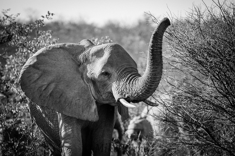 Elephant in Etosha National Park, Namibia.