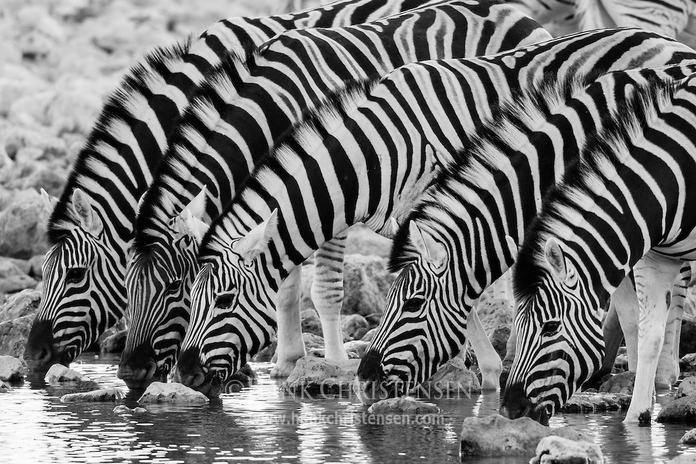 Several plains zebra line up to drink at the Okaukuejo waterhole, Etosha National Park, Namibia.