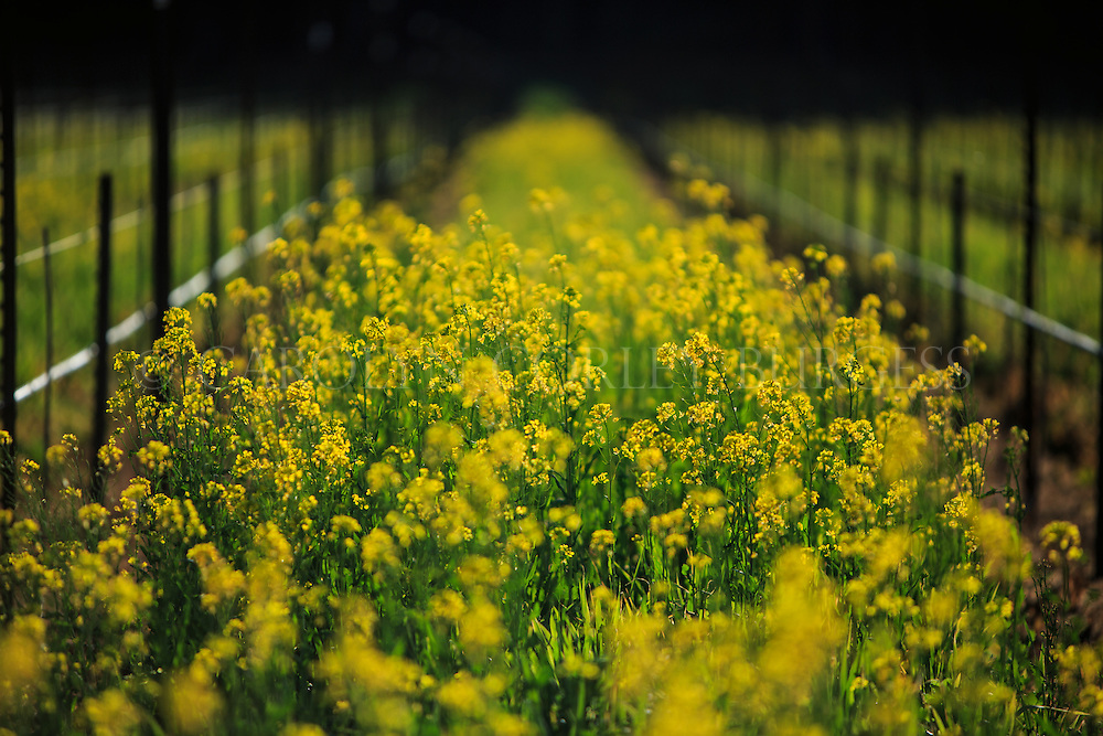 spring mustard in napa valley vineyard. saint helena, california. Spring mustard in vineyard row. Saint Helena, California.