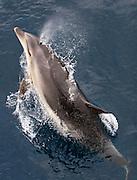 Bottlenose Dolphin, Tursiops truncatus, breaching near Adventure Bay, Tasmania.