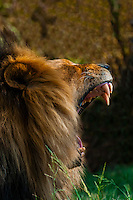 Male Lion yawning, Lion Park, near Johannesburg, Gauteng Province, South Africa.