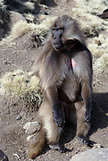 Africa, Ethiopia, Simien mountains, Gelada monkeys Theropithecus gelada